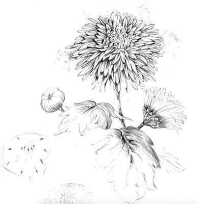 Draw a Chrysanthemum Picture