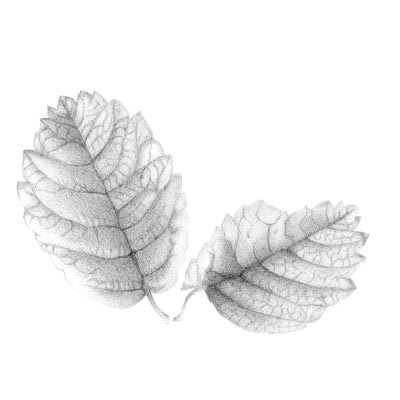 Draw a leaf Picture