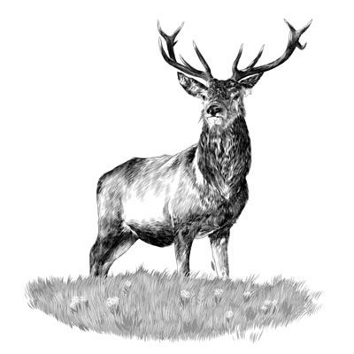Draw a Stag Picture