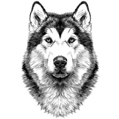 Draw a Husky Picture