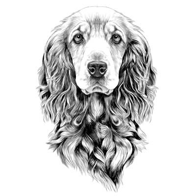 Draw a Cocker Spaniel Picture