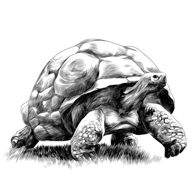 Draw a Tortoise Picture