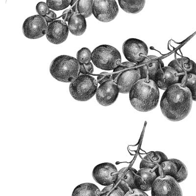 Draw Grapes Picture