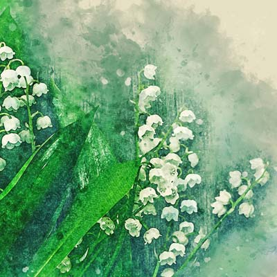 Lily of the Valley Picture