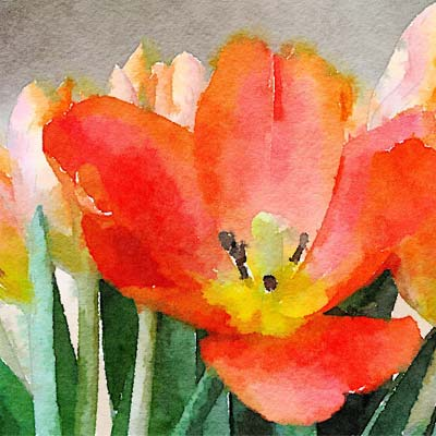 Red Tulip Picture
