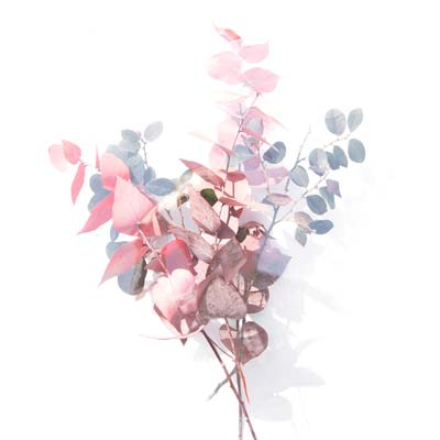 Pink Silver Eucalyptus Picture